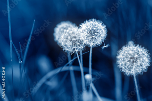 beautiful-white-fluffy-dandelion-flowers-among-green-grass-meadow-with-blurred-backgdrop-summer-or-autumn-nature-bright-natural-background-pantone-trendy-color-year-2020-classic-blue-toned