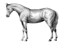 Beautiful Horse. Pencil Portra...