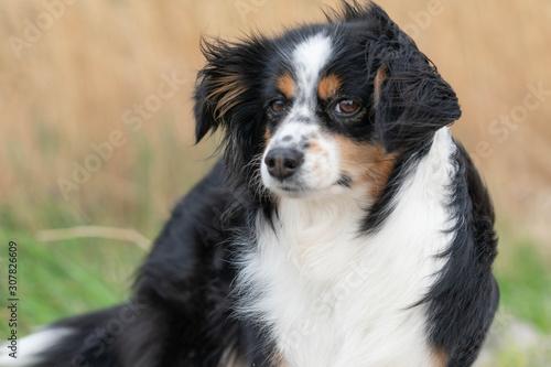 Photo  Dog a Mini Australian Shepherd smelling the wind, dishevelled fur