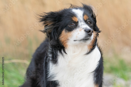 Dog a Mini Australian Shepherd smelling the wind, dishevelled fur Canvas Print