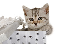 Lovely Little Grey Kitten Climbs Out Of Gift Box