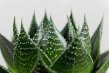 Leaves Of The Aloe Aristata V ...