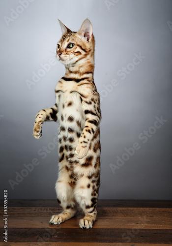 Photo Young Bengal Cat Studio Portrait