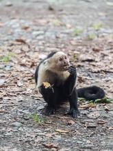 Black And White Capuchin Monke...