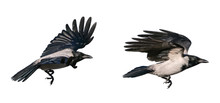Hooded Crow In Flight (Corvus Cornix) Isolated On White Background
