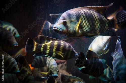 Photo Banco di Ciclidi africani, pesci di acqua dolce