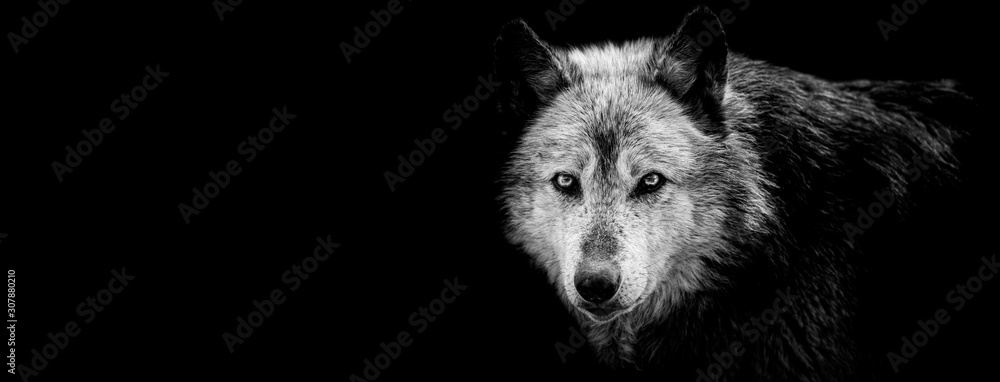 Fototapeta Black wolf with a black background
