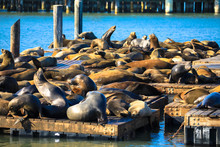 View Of Sea Lions At Pier 39 I...