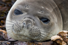 Young Southern Elephant Seal- The Falkland Islands