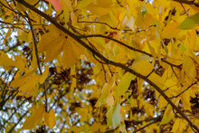 Autumnal Colours  Of A Maple T...