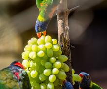 Parrot Rainbow Lorikeet