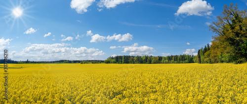 Photo Blühendes gelbes Rapsfeld am Waldrand im Sonnenschein