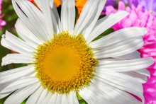 White Camomile With A Yellow Center Close-up. Background For The Design Of Wallpaper, Poster, Site.  Horizontal View.