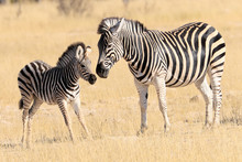 Baby Zebra With His Mother