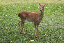 Young Deer In A Zoo On Green G...