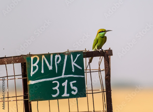 A Green Bee Eater perched on a steel wire fence inside the Velavadar National Park near Bhavnagar in Gujarat, India Wallpaper Mural