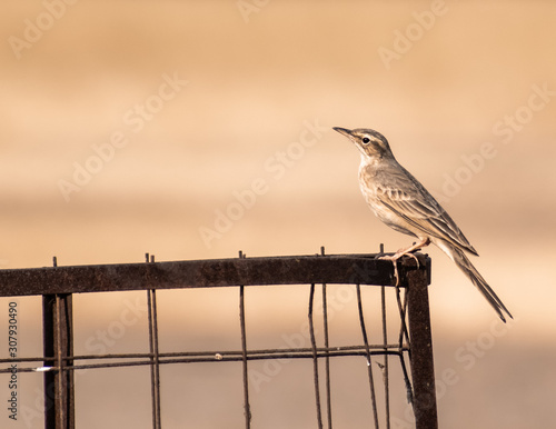 A long billed pipit perched on a steel wire fence in the Velavadar National Park around Bhavnagar in Gujarat, India Canvas Print