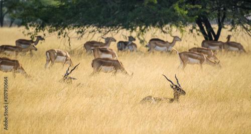 Photo A herd of blackbucks rests in the grasslands of the Velavadar National Park near Bhavnagar in Gujarat, India