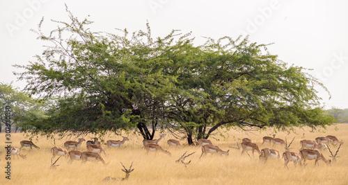 A Prosopis tree in the grasslands of the Velavadar National Park Wallpaper Mural
