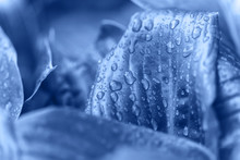 Flower Macro Photo. Clasic Blue Beautiful Blooming Petal After Rain. Color 2020.