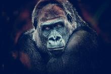 Gorilla Dangerous Look Dark Ba...