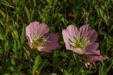 Pink Evening Primrose Close-up
