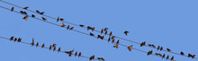 A Flock Of Young Starlings Gat...