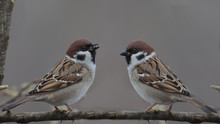 A Pair Of Sparrows Sitting On A Branch Of Hazel With Beaks To Each Other, On A Blurred Gray Background. Panorama.