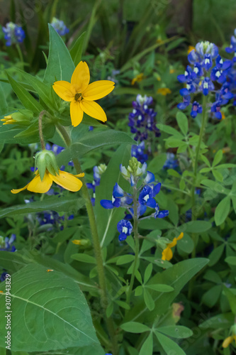 Yellow wildflowers and Bluebonnets in a field