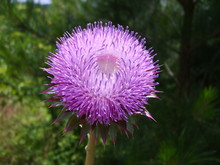 The Beautiful Purple Flower Of A Musk Thistle Against A Natural Bokeh Background