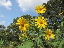 Closeup Of Sunchoke, Also Known As Jerusalem Artichoke, Flowers