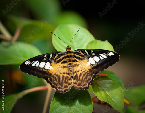 An Exotic Butterfly sitting on a leaf