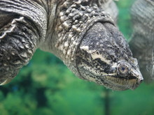 A Predatory Caiman Turtle Dived Into The Clear Water Of The Aquarium Upside Down Against A Background Of Green Algae.