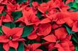 Leinwandbild Motiv Red poinsettia Christmas background. Flowers Christmas star close-up. Traditional Xmas winter festive flowers.