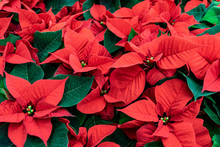 Red Poinsettia Christmas Backg...