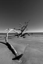 Jekill Island Ga, Beach Tree
