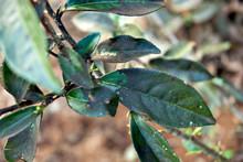 Diseased Tea Leaves In Vietnam