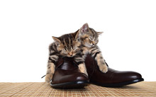 Scottish Straight Kittens Slee...