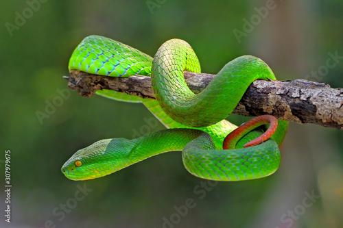 Fotografie, Obraz white lipped island pit viper snake, trimeresurus insularis, venomous snakes