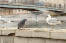 Seagulls And Dove On The Parapet Of The City Promenade In The Autumn Morning.2.