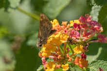 A Fiery Skipper Is Sipping Nectar From The Lantanas At Yates Mill County Park In Raleigh, North Carolina.
