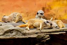 Meerkats On A Log