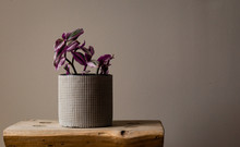 Wide Shot Of A Wandering Jew Lilac Against A Grey Background