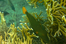 Monotypic Genus Orange-lined T...