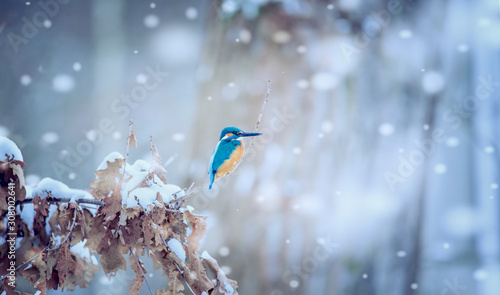 Foto Beautiful nature scene with Common kingfisher Alcedo atthis