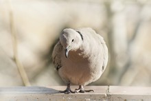 Turtle Dove On A Background