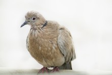 Turtle Dove Isolated On White ...