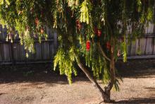 Native Australian Bottle Brush Callistemon Tree In Bloom With Red Flowers