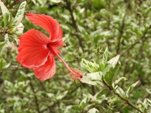 Close-up Of A Red Flower (hibiscus) Illuminated By The Sunlight. On Blurred Green Background, Many Leafy Branches.