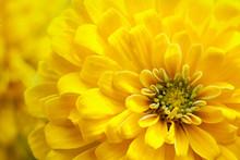 Closeup Beautiful Yellow Chrys...